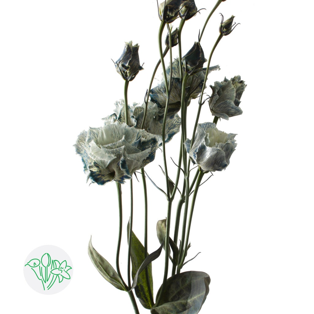Lisianthus Alissa Smokey White Steelfoto | Holex Flower