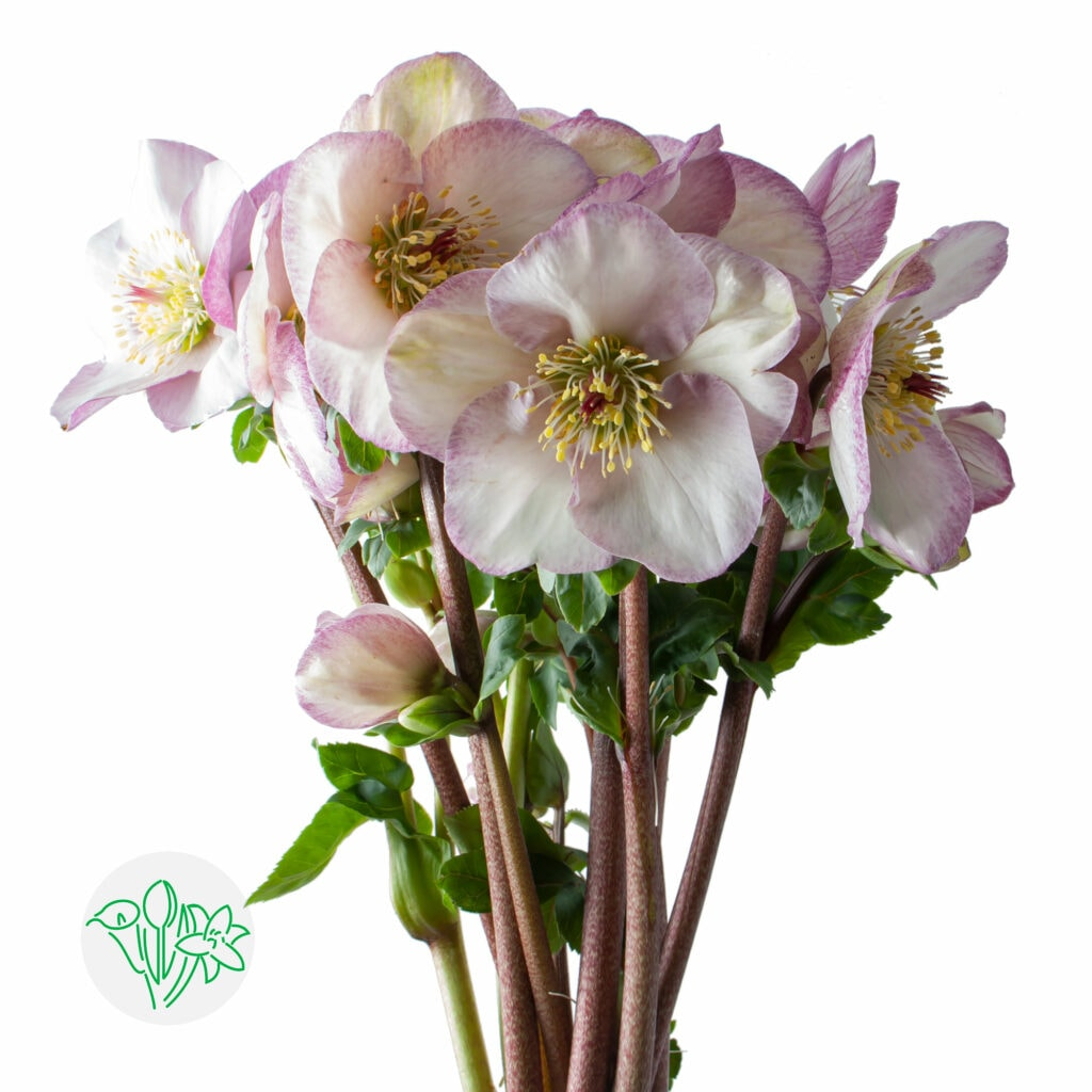 New Helleborus Aarendelle at Holex Flower wholesale