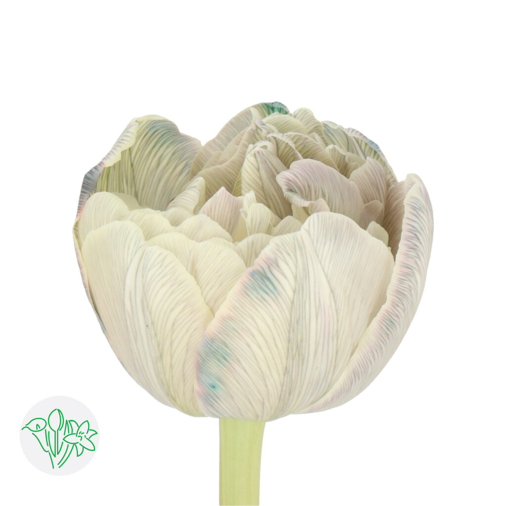 Tulip Painted Dusty Olive | Holex Flower