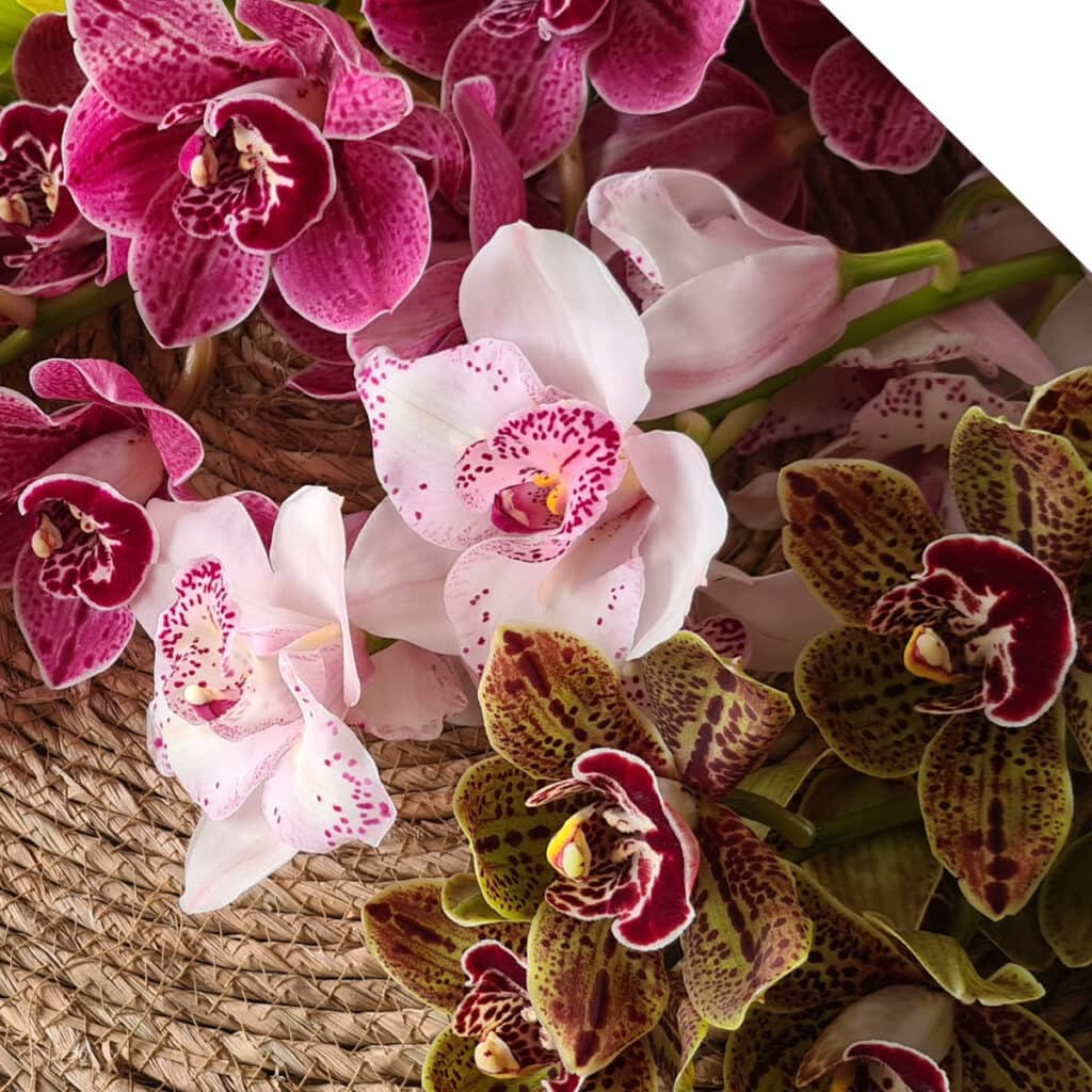 Mini Cybidiums Exclusively at Holex Flower | Holex Flower