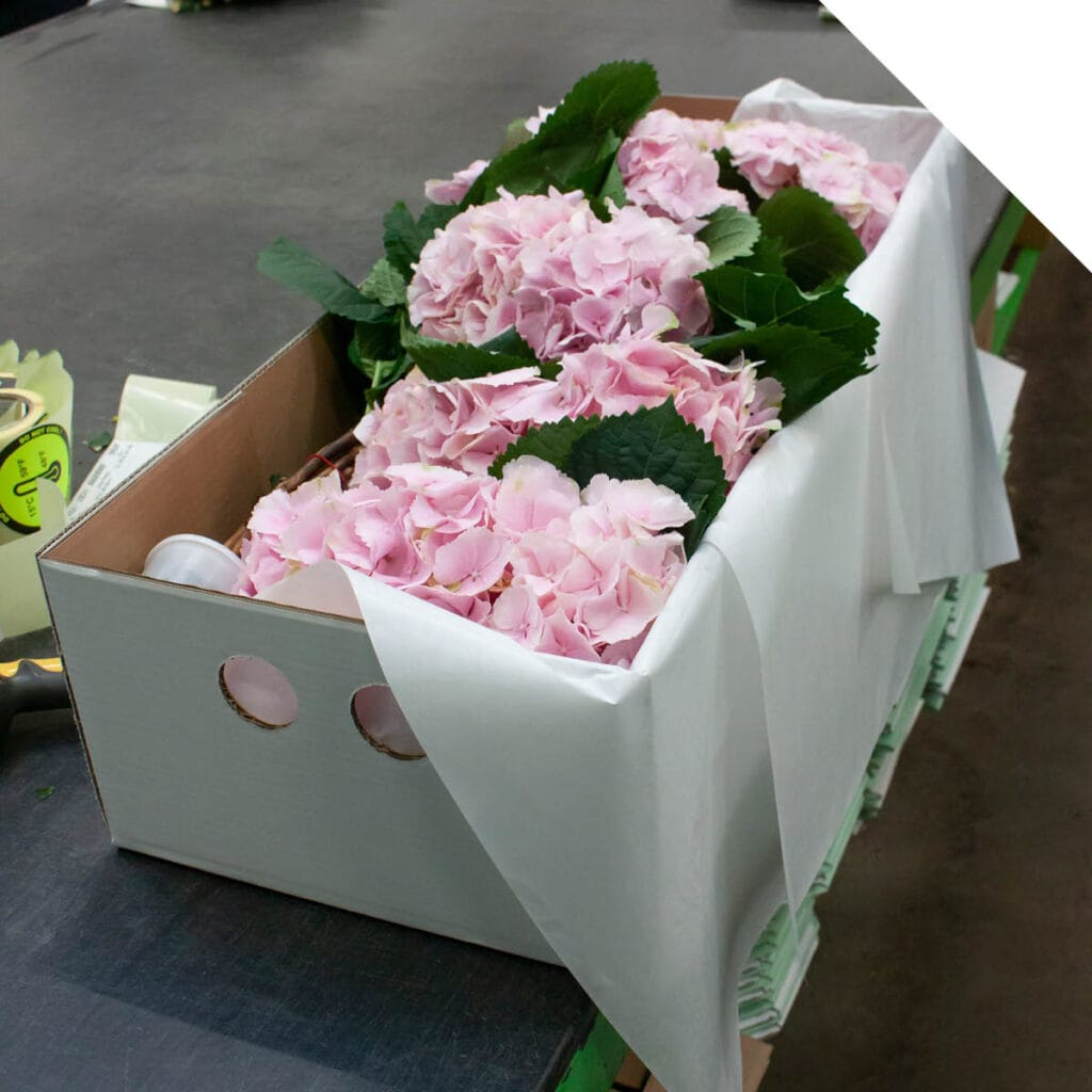 Hydrangea from Holland Research Results | Holex Flower